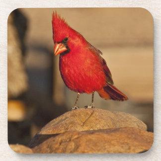 Cardinal, Richmondena cardinalis, South Eastern Coaster