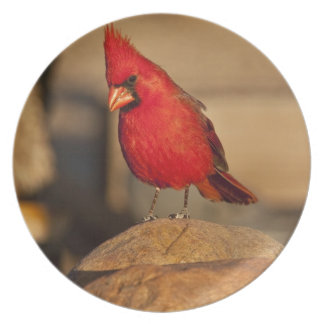 Cardinal, Richmondena cardinalis, South Eastern Plate
