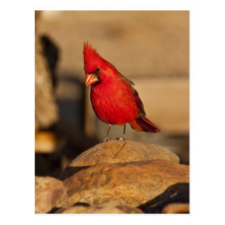 Cardinal, Richmondena cardinalis, South Eastern Postcard