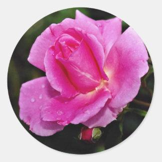 Carefree Beauty Shrub Rose 'Bucbi' White flowers Round Sticker
