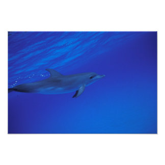 Caribbean, Bahamas Spotted dolphin Poster