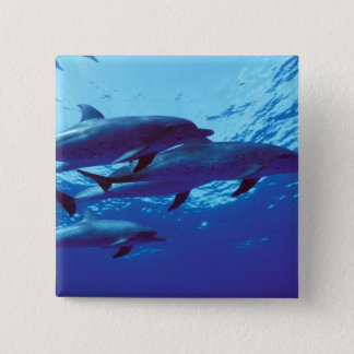 Caribbean, Bahamas Spotted dolphins 15 Cm Square Badge