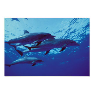 Caribbean, Bahamas Spotted dolphins Poster