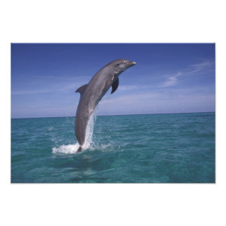 Caribbean, Bottlenose dolphin Tursiops 2 Photo Print