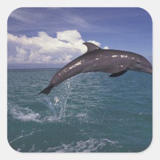 Caribbean, Bottlenose dolphin Tursiops 2 Square Sticker
