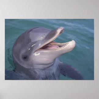 Caribbean, Bottlenose dolphin Tursiops 4 Poster