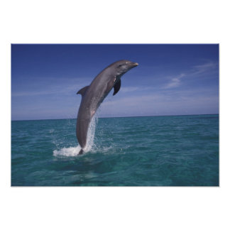 Caribbean, Bottlenose dolphin Tursiops Poster