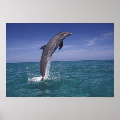 Caribbean, Bottlenose dolphin Tursiops Print