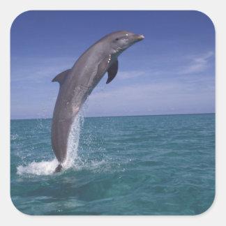 Caribbean, Bottlenose dolphin Tursiops Square Sticker