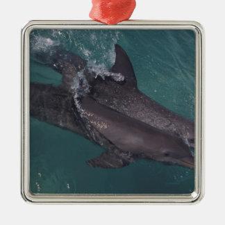Caribbean, Bottlenose dolphins Tursiops 10 Christmas Ornament