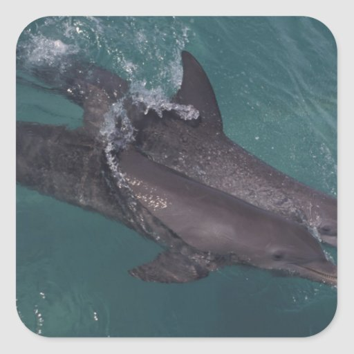 Caribbean, Bottlenose dolphins Tursiops 10 Square Sticker