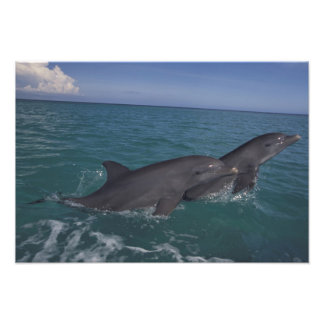 Caribbean, Bottlenose dolphins Tursiops 11 Photo Print