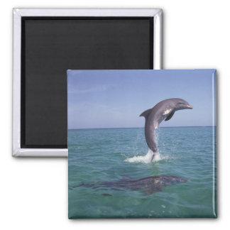 Caribbean, Bottlenose dolphins Tursiops 11 Square Magnet