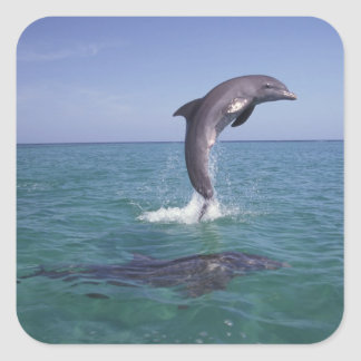 Caribbean, Bottlenose dolphins Tursiops 11 Square Sticker