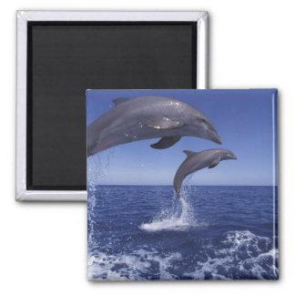 Caribbean, Bottlenose dolphins Tursiops 12 Magnet