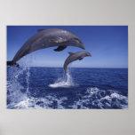 Caribbean, Bottlenose dolphins Tursiops 12 Poster