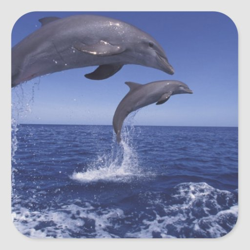 Caribbean, Bottlenose dolphins Tursiops 12 Square Stickers