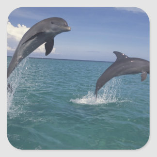 Caribbean, Bottlenose dolphins Tursiops 13 Square Sticker