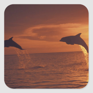 Caribbean, Bottlenose dolphins Tursiops 14 Square Sticker
