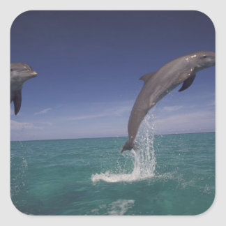 Caribbean, Bottlenose dolphins Tursiops 15 Square Sticker