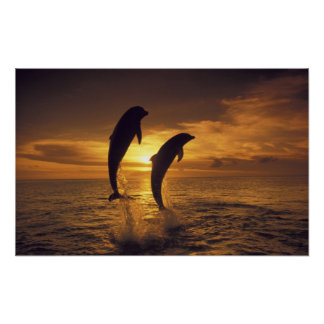 Caribbean, Bottlenose dolphins Tursiops 16 Poster