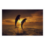 Caribbean, Bottlenose dolphins Tursiops 16 Posters