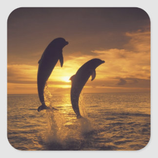 Caribbean, Bottlenose dolphins Tursiops 16 Square Sticker