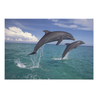 Caribbean, Bottlenose dolphins Tursiops 17 Photo Art