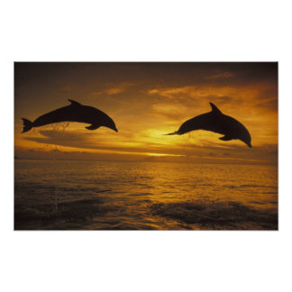 Caribbean, Bottlenose dolphins Tursiops 17 Poster