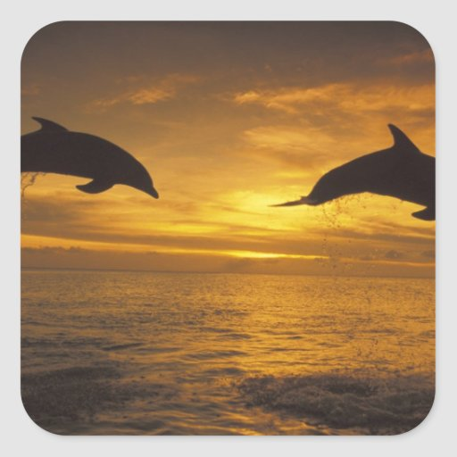 Caribbean, Bottlenose dolphins Tursiops 17 Square Stickers
