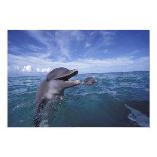 Caribbean, Bottlenose dolphins Tursiops 2 Photo Print