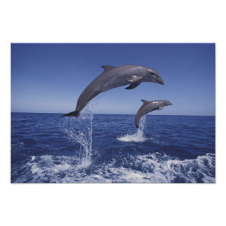 Caribbean, Bottlenose dolphins Tursiops 3 Poster