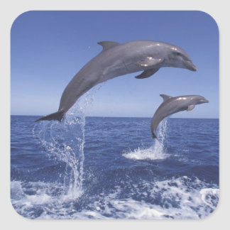 Caribbean, Bottlenose dolphins Tursiops 3 Square Sticker