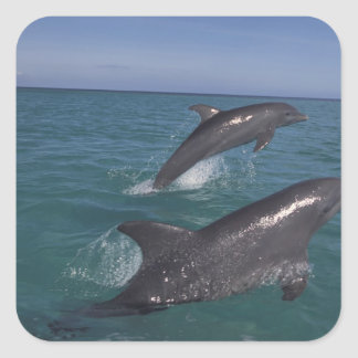 Caribbean, Bottlenose dolphins Tursiops 4 Stickers