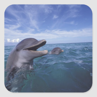 Caribbean, Bottlenose dolphins Tursiops 5 Square Sticker