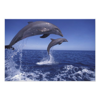 Caribbean, Bottlenose dolphins Tursiops 6 Photo Print