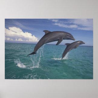 Caribbean, Bottlenose dolphins Tursiops 6 Print
