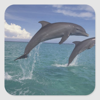 Caribbean, Bottlenose dolphins Tursiops 6 Square Sticker