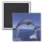 Caribbean, Bottlenose dolphins Tursiops 7 Square Magnet