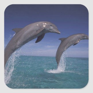 Caribbean, Bottlenose dolphins Tursiops 8 Square Sticker