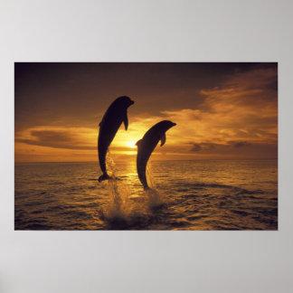 Caribbean, Bottlenose dolphins Tursiops 9 Print