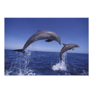 Caribbean, Bottlenose dolphins Tursiops Art Photo