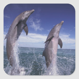 Caribbean, Bottlenose dolphins Tursiops Square Sticker