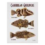 Caribbean Groupers Poster