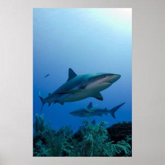 Caribbean Reef Shark Jardines de la Reina Posters
