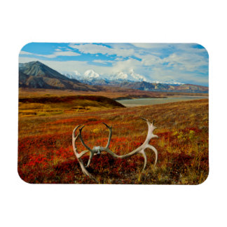 Caribou Antlers On The Alaskan Tundra Magnet