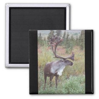 Caribou in Alaska Magnet