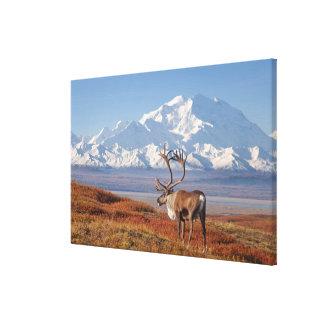 caribou, Rangifer tarandus, bull in fall colors Canvas Print