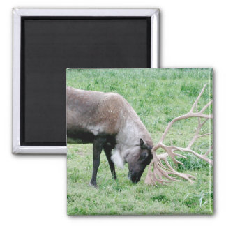 Caribou with Large Antlers Refrigerator Magnet