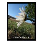 Carmel Valley Daisy Postcard